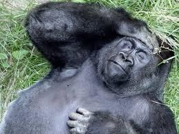 Gorilla Meme - create meme tired gorilla tired gorilla gorilla monkey
