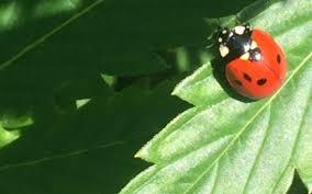 grow hack release and maintain ladybugs in your indoor garden