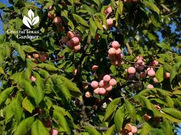 What Fruit Trees Grow In Texas - projects reduce lawn makeover container vegetables central