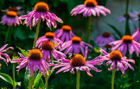 echinacea flower how to grow gorgeous medicinal echinacea in your garden rodale s