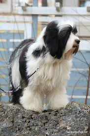 hair cuts for the tebelan terrier 37 best tibetan terrier images on pinterest tibetan terrier