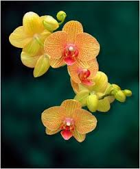 beautiful flowers photography by rona black yellow orchid