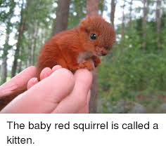Dramatic Squirrel Meme - the baby red squirrel is called a kitten squirrel meme on me me