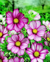 osteospermum light c beautiful gorgeous pretty flowers possible