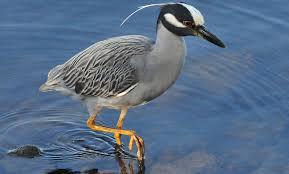 Louisiana birds images Louisiana birding by season spring bird watcher 39 s digest jpg