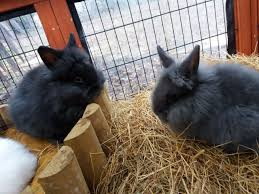 lion heads for sale baby lionheads rabbits for sale clacton on sea essex pets4homes