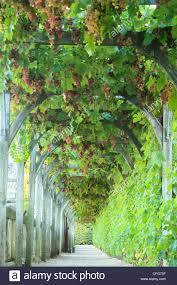 climbing vine pergola stock photos u0026 climbing vine pergola stock