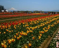 Tulip Festival Map Wooden Shoe Tulip Festival Travel Portland
