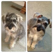 schnauzer hair cut step by step before and after first schnauzer haircut 4 months old for my