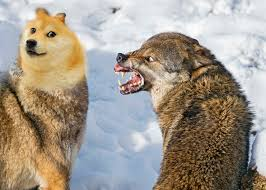 Mad Wolf Meme - psbattle an angry wolf and a scared wolf photoshopbattles