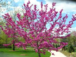 native oklahoma plants oklahoma redbud is a beautiful garden tree valued for its timing