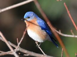 South Carolina birds images Bluebirds jpg