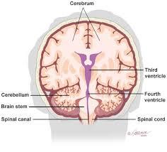 Brain Stem Anatomy Brain Anatomy And Images Brain