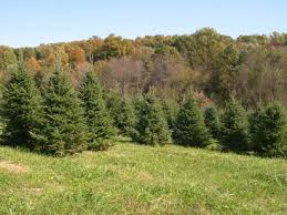 christmas trees gaver farm llc