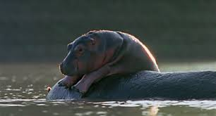 si e social hippopotamus glad it s friday baby hippo hippopotamus and