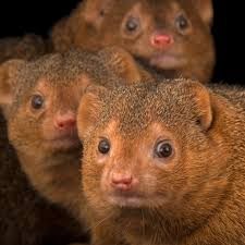 mongooses national geographic