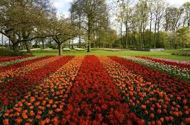 seeing the tulips in amsterdam at keukenhof
