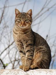 tabby cat wikipedia