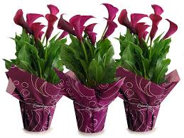 Calla Lily Vase Life Calla Lilies Indoor Flowers Plant Care Rocket Farms
