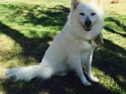 american eskimo dog short hair lost pets near cypress ca