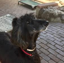 belgian sheepdog breeders indiana afghan hound rescue