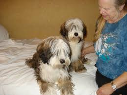hair cuts for the tebelan terrier sugarfoot tibetan terriers home facebook