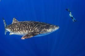 christmas island tourism association scuba diving u0026 snorkelling