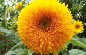 teddy sunflowers teddy tear sunflower sunflower seeds flower seeds