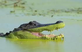 Alligator Memes - put me like 盞 alligator with perfectly straight algae line