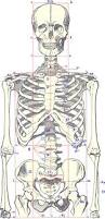 Photos Of Human Anatomy Best 25 Skeleton Ideas Only On Pinterest Skeleton Anatomy