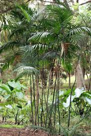 Cateracterum Palm by Chamaedorea Wikipedia