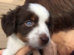 australian shepherd in california view ad australian shepherd puppy for sale california roseville