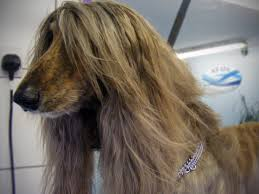 afghan hound hairstyles dog grooming services k9 spa hydrotherapy centre