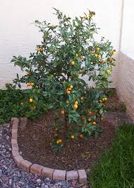When Does A Lemon Tree Produce Fruit - growing citrus trees in phoenix arizona meiwa kumquats rutaceae