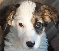 australian shepherd 4 monate gewicht hundewelpen 3 16 monate 2260 hunde in der vermittlung