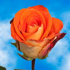 global roses bulk special roses global