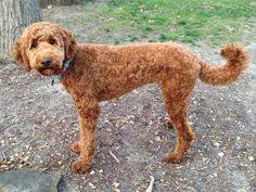 labradoodle hairstyles image result for labradoodle pictures haircuts crosby hair