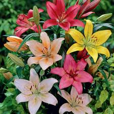 lilies flower zyverden lilies asiatic mixture bulbs pack of 7 11352
