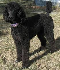 pictures of poodle haircuts the 25 best black standard poodle ideas on pinterest poodle