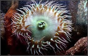 marine creatures explained how anemones work