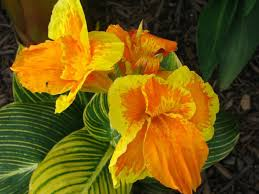 Cana Lilly 26 Best Canna Bloom Images On Pinterest Canna Lily Flowers And