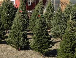 christmas trees siegel u0027s cottonwood farm