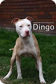 american pitbull terrier for sale in ohio dingo found in cleveland ohio cleveland oh pit bull terrier