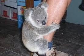 Angry Koala Meme - proof positive koalas are secretly evil gremlins