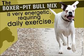 Seeking Pitbull Unravelling The Personality Traits Of A Boxer Pitbull Mix