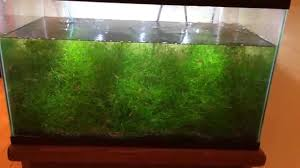 How To Make A Moss Wall by How To Grow Aquarium Java Moss Like Weeds Youtube