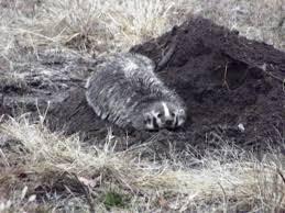 Oklahoma Wildlife images Badger toll free 1 855 787 9453 or 918 367 9060 oklahoma jpg