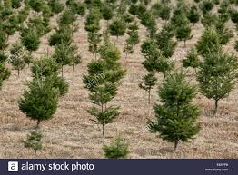 christmas tree farm usa stock photos u0026 christmas tree farm usa