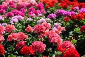 family garden center annuals gallery u2013 homestead garden center u2013 757 566 0404 u2013 4191