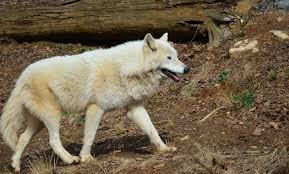 gray wolf smithsonian u0027s national zoo